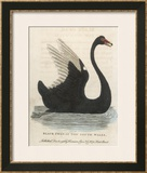 The Black Swan of New South Wales Framed Giclee Print by Harrison Cluse