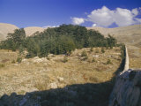 Last Remaining Cedar Forest Covering Only a Few Hectares, Cedar Forest, Lebanon, Middle East Photographic Print by Fred Friberg