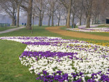 Crocus in Flower in Spring in Hyde Park, London, England, UK Photographic Print by Mark Mawson