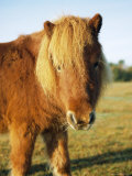 Chestnut Shetland Pony, Fritham, New Forest, England, UK Photographic Print by Pearl Bucknell