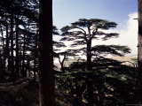 The Last Remaining Forest of Biblical Cedars in Lebanon, Cedar Forest, Lebanon, Middle East Photographic Print by Fred Friberg