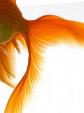Close-up of Goldfish Tail Photographic Print by Mark Mawson