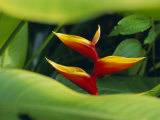 Heliconia Flower (Bird of Paradise), Tropical Rainforest, Dominica, Caribbean, Central America Photographic Print by Fred Friberg