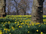 Daffodils Flowering in Spring in Hyde Park, London Photographic Print by Mark Mawson
