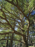 The Last Remaining Forest of Biblical Cedars, Cedar Forest, Lebanon, Middle East Photographic Print by Fred Friberg