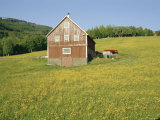Barn in Rape Field in Summer, Lofoten, Nordland, Arctic Norway, Scandinavia, Europe Photographic Print by Dominic Webster