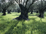Groves of Olive Trees, Island of Naxos, Cyclades, Greece, Europe Photographic Print by David Beatty