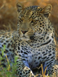 Portrait of a Leopard (Panthera Pardus), Okavango Delta, Botswana Photographic Print by Paul Allen