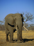 African Elephant (Loxodonta Africana), Kruger Park, South Africa Photographic Print by Paul Allen