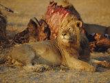 Lion (Panthera Leo), Okavango Delta, Botswana, Africa Photographic Print by Paul Allen