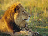 Portrait of a Lion (Panthera Leo), Okavango Delta, Botswana Photographic Print by Paul Allen