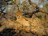 A Cheetah (Acinonyx Jubatus) in a Tree, Kruger Park, South Africa Fotografisk tryk af Paul Allen