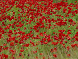 Poppy Field, Spain, Europe Photographic Print by John Miller