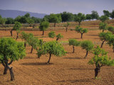Landscape with Olive Trees, Majorca (Mallorca), Balearic Islands, Spain, Europe Photographic Print by John Miller
