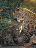 Leopard and Cub, Singita Game Reserve, Sabi Sands, South Africa Photographic Print by Mark Mawson