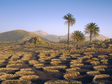 Palm Trees and Cultivation in Volcanic Soil, Lanzarote, Canary Islands, Spain Photographic Print by John Miller