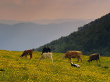 Cows Grazing, the Vosges, Alsace, France, Europe Photographic Print by John Miller