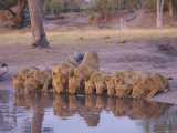 Lion (Panthera Leo) at Water Hole, Okavango Delta, Botswana, Africa Photographic Print by Paul Allen