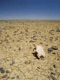 Animal Skull, Rocks and Cracked Dry Earth, Outback, South Australia, Australia, Pacific Photographic Print by Mark Mawson