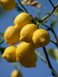 Close-up of Lemons on Tree, Spain Photographic Print by John Miller