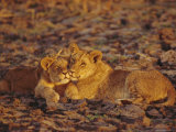 Lioness and Cub, Okavango Delta, Botswana, Africa Photographic Print by Paul Allen