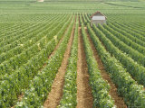 Meursault Genevrieres Premier Cru Vineyard, Cote De Beaune, France, Europe Photographic Print by Michael Short