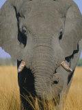 African Elephant (Loxodonta Africana), Okavango Delta, Botswana, Africa Photographic Print by Paul Allen