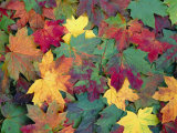Autumn Leaves Photographic Print by John Miller