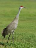 A Sandhill Crane, South Florida, USA Photographic Print by Roy Rainford