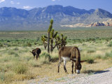 Wild Mules, the Spring Mountains, Nevada, USA Photographic Print by Fraser Hall