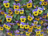 Viola Flowers Photographic Print by Robert Harding