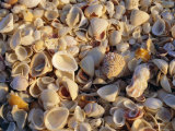 Sanibel Island, Famous for the Millions of Shells That Wash up on Its Beaches, Florida, USA Photographic Print by Fraser Hall