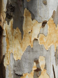 Eucalyptus Tree Bark, Greece, Europe Photographic Print by Robert Harding