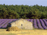 Stone Building in Lavender Field, Plateau De Sault, Haute Provence, Provence, France, Europe Photographic Print by Guy Thouvenin