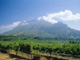 Vineyard, Stellenbosch, Cape Winelands, South Africa Photographic Print by Fraser Hall