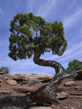 Juniper Tree with Curved Trunk, Canyonlands National Park, Utah, USA Photographic Print by Jean Brooks