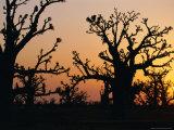 Bandia Forest, Senegal, Africa Fotografisk tryk af Sylvain Grandadam