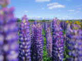 Wild Lupins in the Mt. Cook National Park, Canterbury, South Island, New Zealand Photographic Print by Neale Clarke