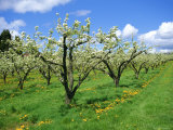 Blossom on Pear Trees in Orchard, Holt Fleet, Worcestershire, England, UK, Europe Photographic Print by David Hunter