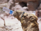 Camel Drinking, Jordan, Petra Photographic Print by Neale Clarke