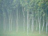 Silver Birch Trees Near Contin, Highlands Region, Scotland, UK, Europe Photographic Print by Neale Clarke