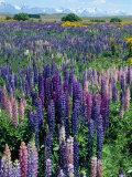 Wild Lupins, Mt. Cook National Park, New Zealand Photographic Print by Neale Clarke