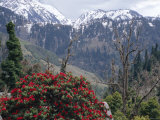 Rhododendrons in Bloom, Dhaula Dhar Range of the Western Himalayas, Himachal Pradesh, India Photographic Print by David Poole