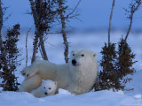 Polar Bear with Cubs, (Ursus Maritimus), Churchill, Manitoba, Canada Photographic Print by Thorsten Milse
