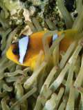 Close-Up of Clown Fish and Sea Anemones, off Sharm El-Sheikh, Sinai, Red Sea, Egypt Photographic Print by Upperhall Ltd