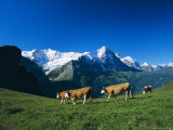 Cows in Alpine Meadow with Fiescherhorner and Eiger Mountains Beyond, Swiss Alps, Switzerland Photographic Print by Ruth Tomlinson