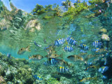 Crowd of Tropical Reef Fish Including Scissortail Sergeants and Grunts, Solomon Islands Photographic Print by Louise Murray