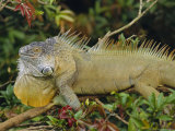 Green Iguana (Iguana Iguana), Basking in Tree Foliage, Muelle San Carlos, Costa Rica Photographic Print by Anthony Waltham