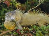 Green Iguana (Iguana Iguana), Basking in Tree Foliage, Muelle San Carlos, Costa Rica Photographic Print by Anthony Waltham