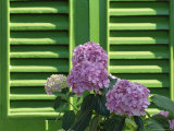 Pink Hydrangea Flowers in Front of Green Shutters of the Villa Durazzo, Liguria, Italy Photographic Print by Ruth Tomlinson